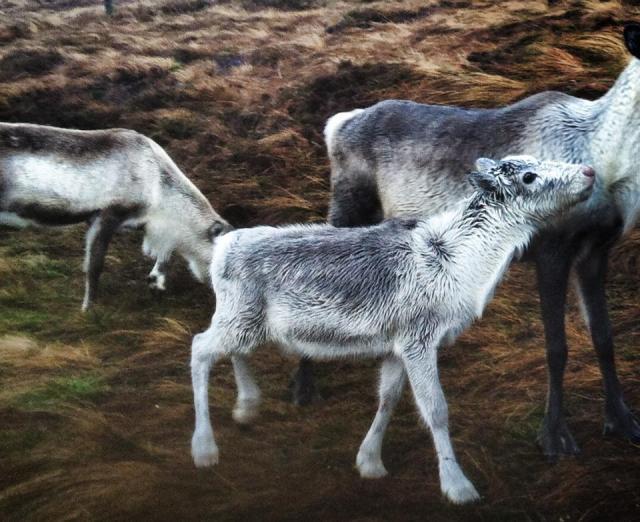 baby reindeer 2